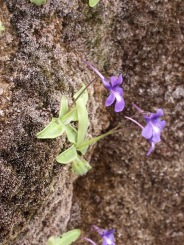 Randonée ai gite les Asphodèles - Vallée de la Vis : plante carnivore