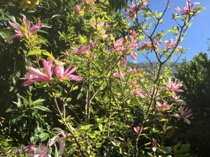 Fleur de Magnolia Soulangeana aux Asphodèles - Vallée de la Vis