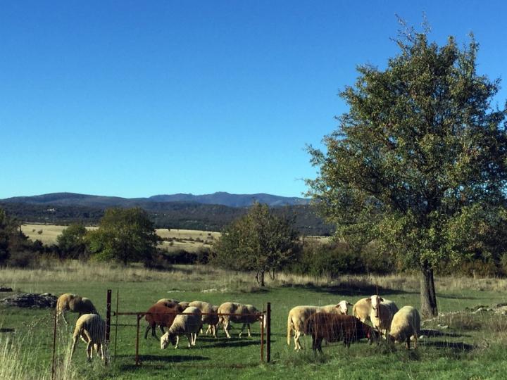 Moutons du Causse de Blandas, près du gite Les Asphodèles - Vallée de la Vis.