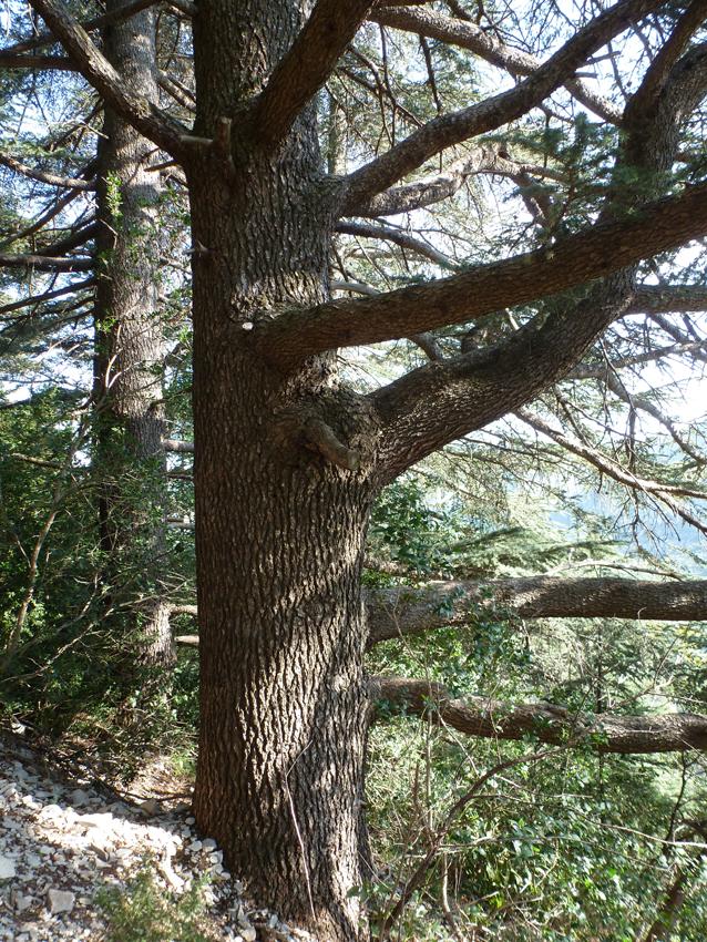 Cèdres du liban dans la vallée de la Vis, près du gite Les Asphodèles-Vallée de la Vis