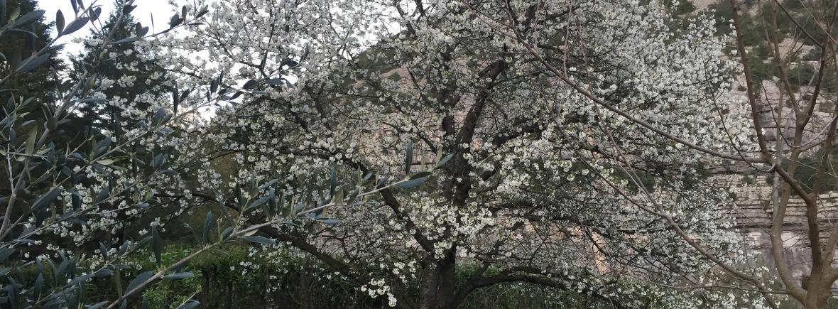 Gite Les Asphodèles au printemps : cerisiers en fleurs